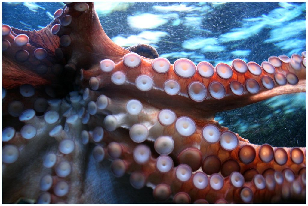 octopus, suction cup, suction cups